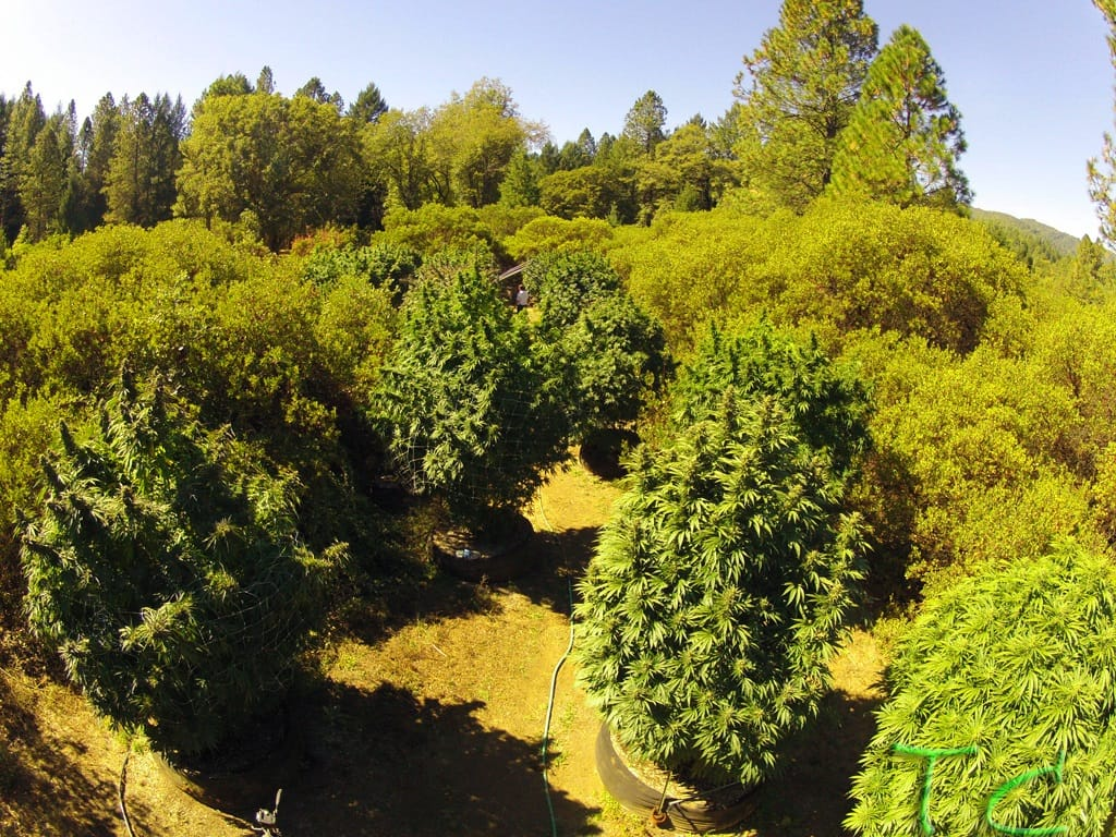 outdoor cannabis cultivation more sustainable