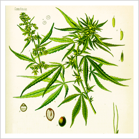 The history of CBD cannabis or cannabidiol