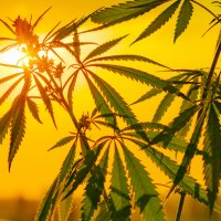 Hemp plant in front of the sunset in a yellow sky.
