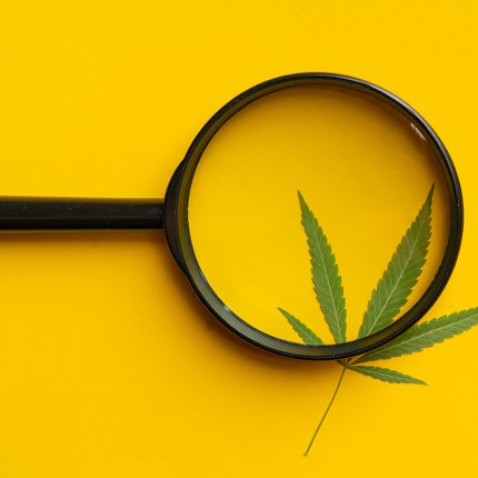 A black-handled magnifying glass over a cannabis leaf on a bright yellow background.