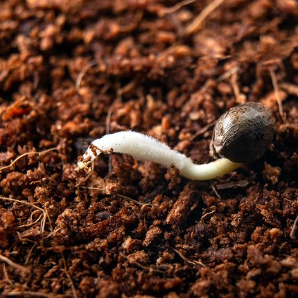A cannabis seed sitting on top of coco soil has sprouted a taproot.