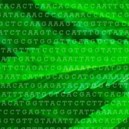 Cannabis genotyping and gene sequencing