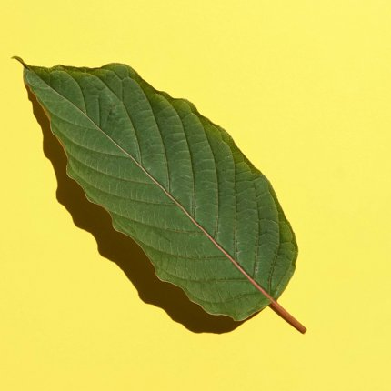 Photograph of a kratom leaf on a yellow background.
