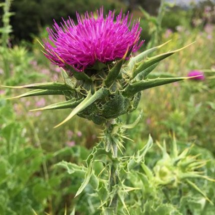 milk thistle liver and endocannabinoid system