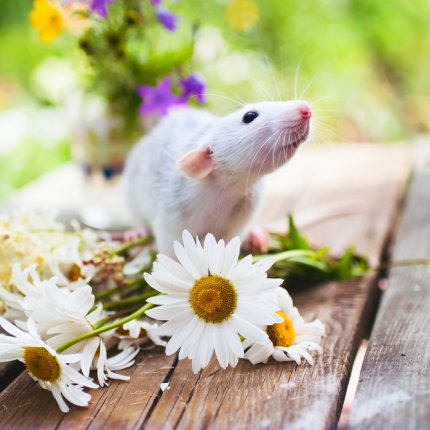 mouse with daisies