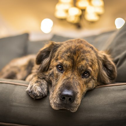 sad dog on couch