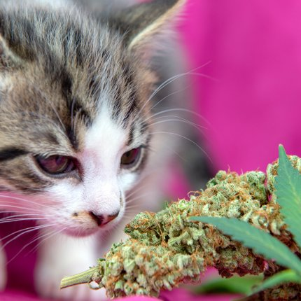 cat smelling cannabis