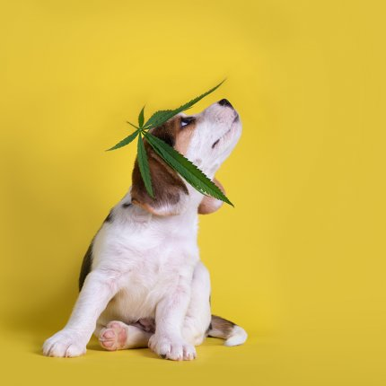 Dog with cannabis hat