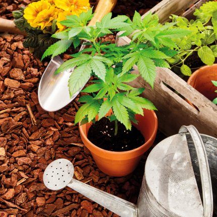 companion planting with cannabis