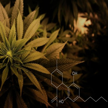 Efficiency of whole plant CBD vs. single compound CBD