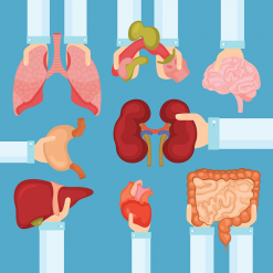 An illustration of doctors hands holding out different organs. There are lungs, kidneys, intestine, liver, brain, and heart.