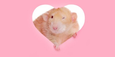 A rat looks out of a hear-shaped hole in a pink background.