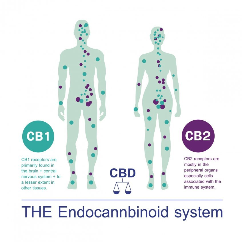 HOW LONG DOES IT TAKE FOR CBD TO WORK IN THE BODY?