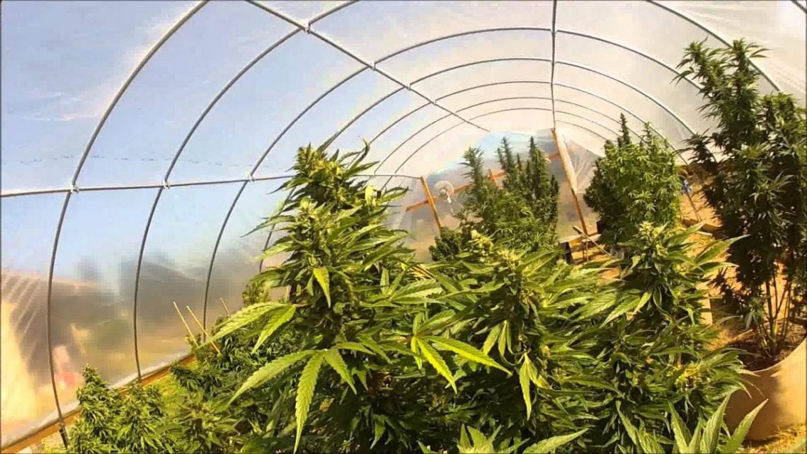 In or Out? Sungrown vs  Indoor Cannabis Cultivation