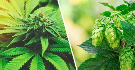 Cannabis and Humulus: A Family Reunion | Project CBD