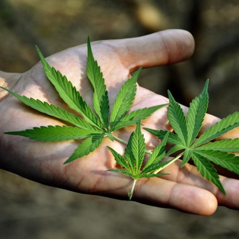 cannabis-dosing leaves in hand