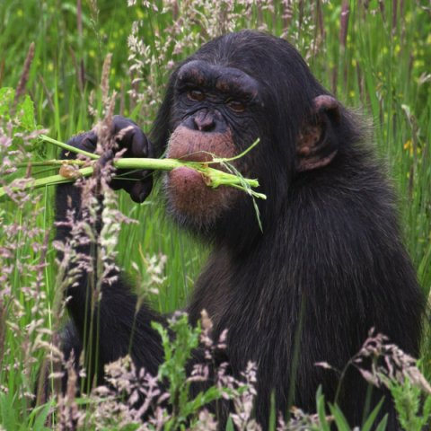 Animals know how to use medicinal plants
