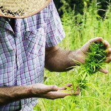 A cannabis farmer examines their crop. Their face is obscured by a straw hat, and they're wearing a plaid shotr-sleeve button up.