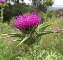 milk thistle, liver, and the endocannabinoid system