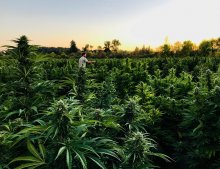 Seth Crawford walking through Oregon CBD's CBG fields as the sun sets.