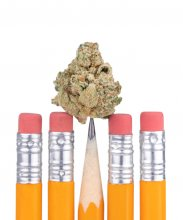 Bud of marijuana balanced on the point of a school pencil, in a row of pencils with their eraers pointing up, isolated on white.