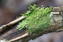 Radula liverwort moss on a wet branch.