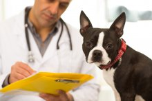 A mall black and white dog looks at the camera while a vet takes notes on a yellow folder in the background.