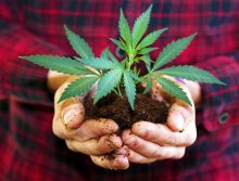 A pair of hands holds a baby cannabis plant in front of torso wearing a red plaid flannel shirt.