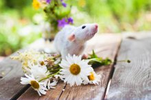 A small rat perches on top of a bouqet of daisies on a wooden table.