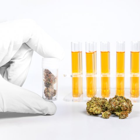 Test tubes filled with golden liquid sit behind three cannabis buds and a white-gloved hand holding a test tube containing smaller cannabis buds.