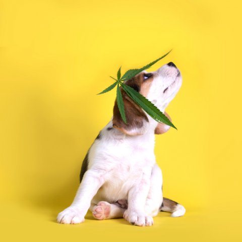 A beagle puppy sits in front of a yellow background with a cannabis leaf on his head. He's looking off and leaning towards the right side of the frame.