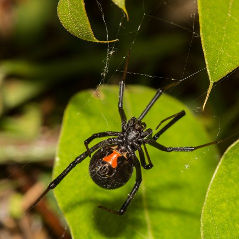 Black widow on leaf