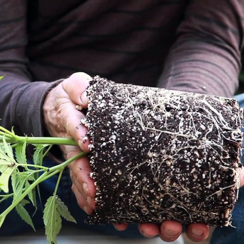 Cannabis roots provide relief for various ailments.