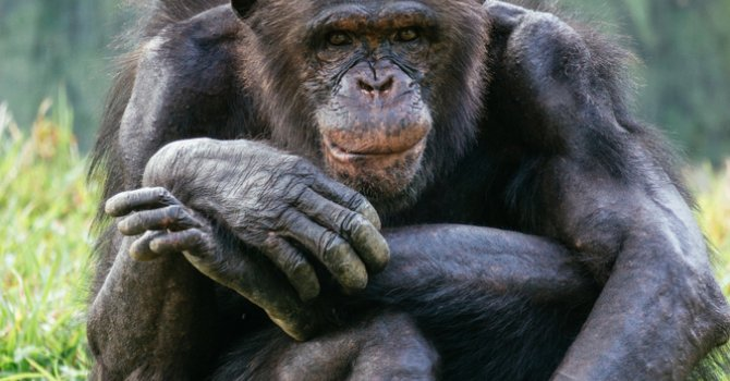 A chimpanzee sits in a green field with their legs crossed and an arm resting on the higher leg. They are looking directly at the camera.