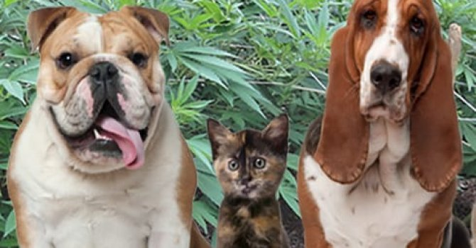 The applications of cannabis medicine for pets