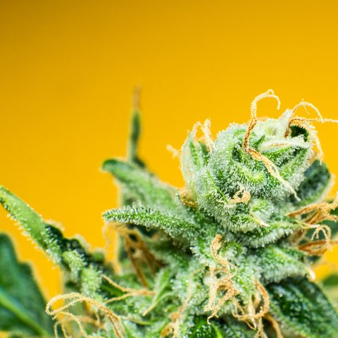 Close up of a cannabis flower on a yellow background. The trichomes and stigmas are clearly visible on the surface of the flower.