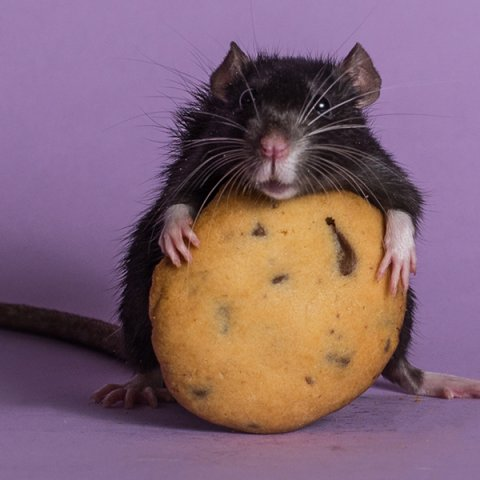 mouse holding cookie against purple background