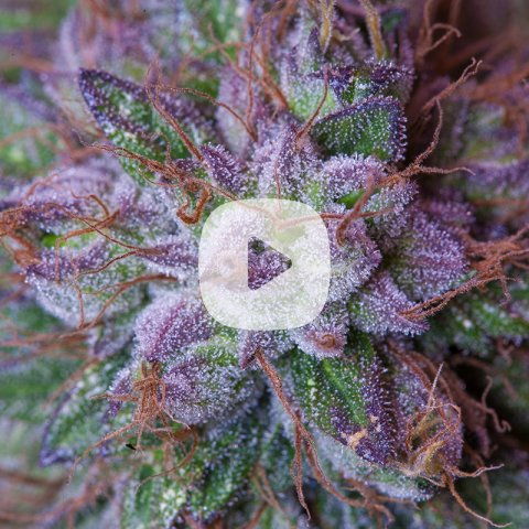 colorful cannabis plant close-up