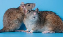 Two rats against a blue background